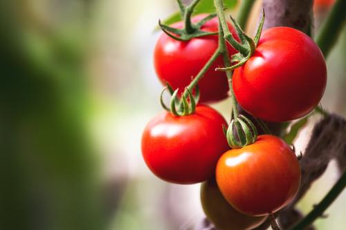 トマト ミニ プチ 種類 カロリー