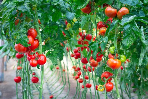 トマト 何故 赤い 赤くなる 理由