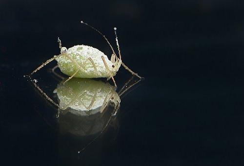 パクチー 栽培 虫 駆除