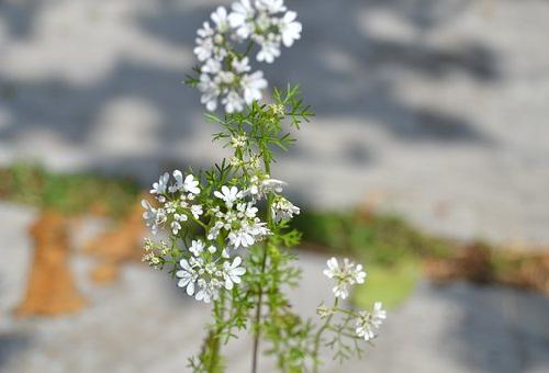 パクチー 栽培 花 収穫