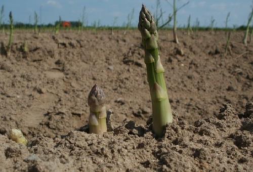 アスパラガス 収穫 タイミング