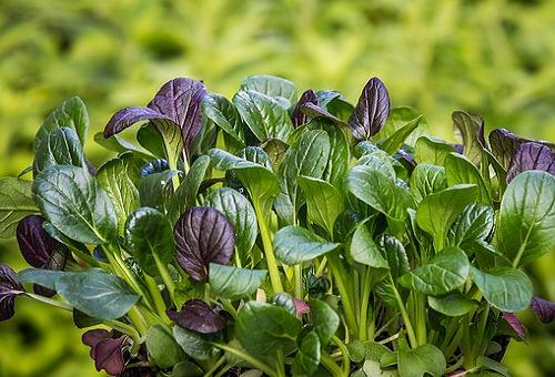 ほうれん草 紫 栄養