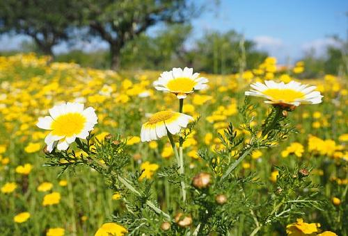 春菊 花 食用 食べ方