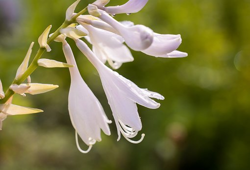 アスパラガス 花 種類 時期