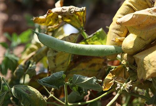 インゲン 葉 枯れる 原因 対策