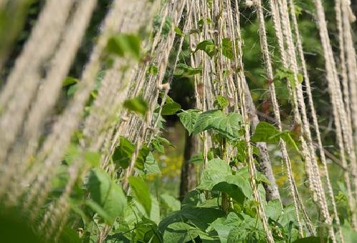 いんげん 栽培 支柱