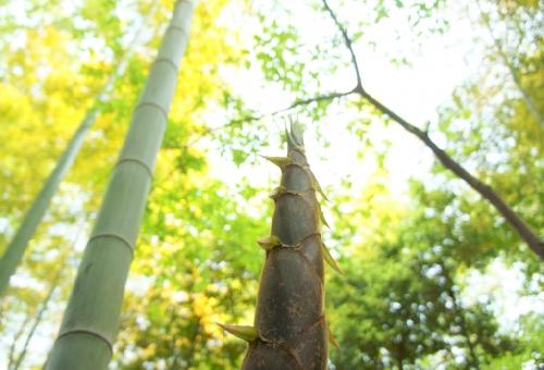 たけのこ 増やし方 竹