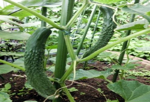 きゅうり 肥料 いつ やり方