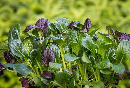 小松菜 栽培 種類