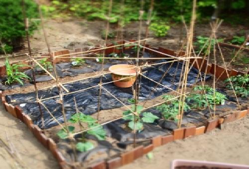トウモロコシ 家庭菜園 品種