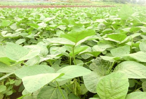 枝豆 生産量 日本一
