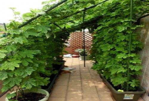 ゴーヤ 栽培 プランター サイズ 支柱