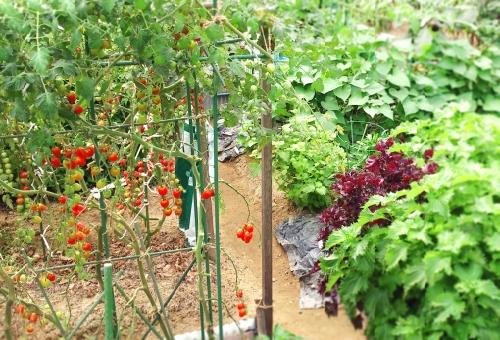 しそ 家庭菜園 肥料 水やり 収穫