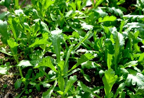 春菊 追肥 時期