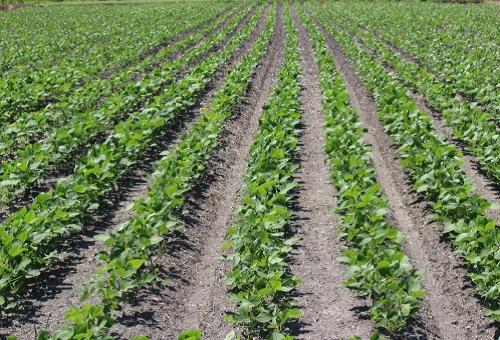 枝豆 播種 時期 間隔