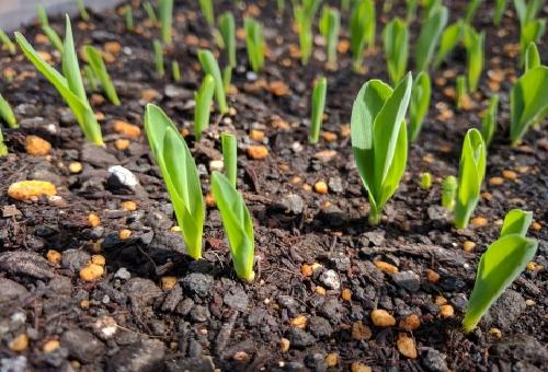 とうもろこし 育て方 畑 植え方