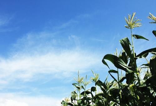 トウモロコシ 黒穂病 農薬 食用