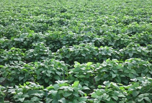 枝豆 産地 日本 特徴
