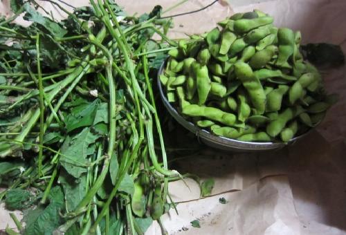 枝豆 調理 保存