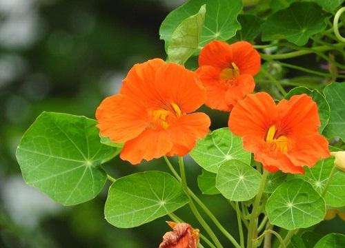 セロリ 栽培 相性 花