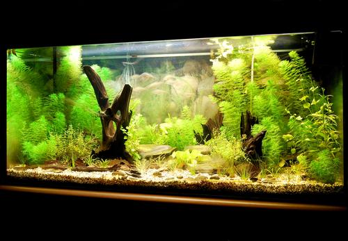クレソン 熱帯魚 水槽