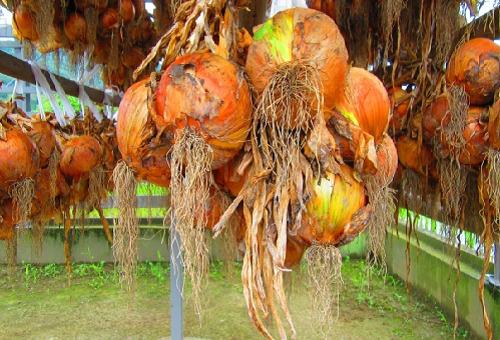 玉ねぎ 乾燥 期間 栄養 方法 結び方