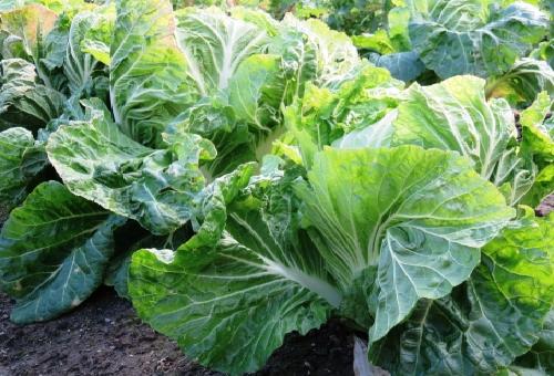 白菜 栽培 歴史
