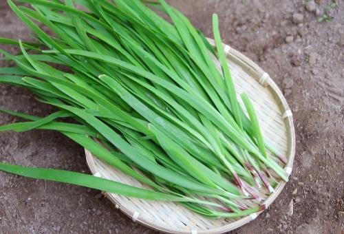 ニラ 収穫 1年目 回数