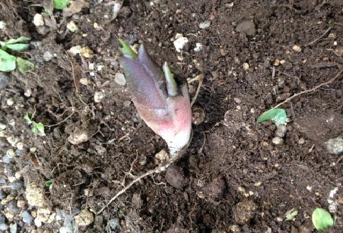 みょうが 地下茎 移植 保存 深さ 栽培
