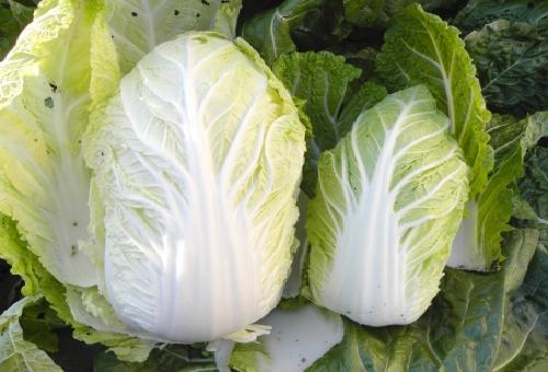 白菜 品種 小さい