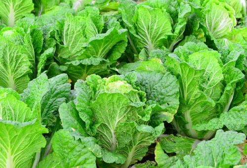 白菜 畑 育て方 保存