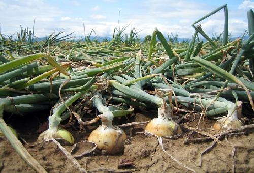 玉ねぎ 栽培 倒れる