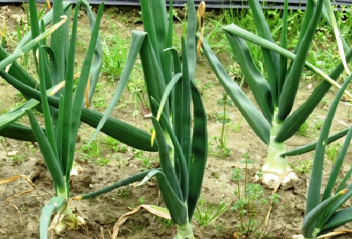玉ねぎ 栽培 大きく ならない 原因