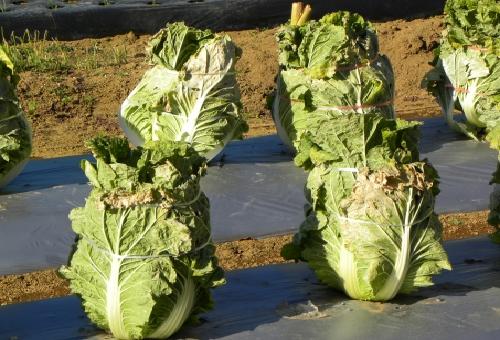 白菜 結球 縛る 理由 時期 栄養