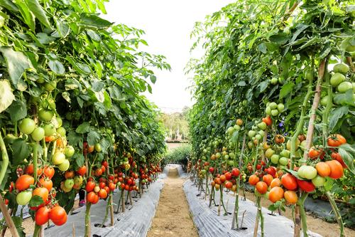 トマト 夏枯れ 保存 水やり