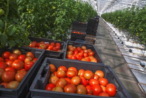 トマト 種取り 方法