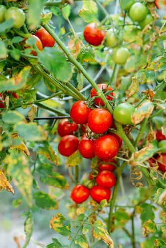 家庭菜園 トマト やり方