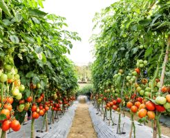 トマト 日本 生産量 産地