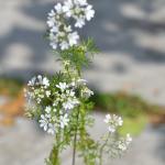 パクチーの栽培について考えよう!花と収穫の関係は?