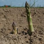 アスパラガスの収穫!タイミングは?