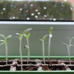 いんげん豆のプランター栽培!失敗しない追肥と土の与え方!