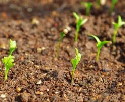 パクチー 栽培 畑