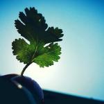 パクチーの根っこから新たに栽培できる!育て方とは?
