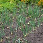 玉ねぎの肥料はどの時期にどのくらいの量をあげるの?種類はどんなもの?肥料過多って何?
