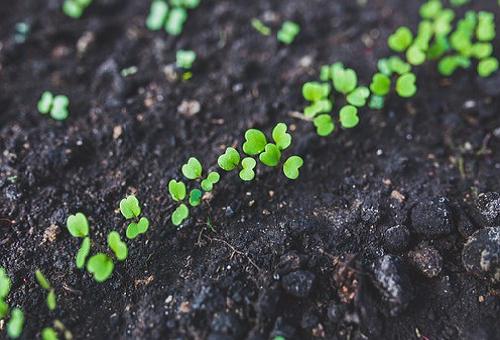 キャベツ 芽 栽培方法