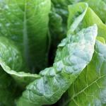ほうれん草の栽培で使用する肥料「尿素」!葉面散布に最適!