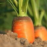 にんじんの栽培方法!追肥の時期そして方法をチェック!