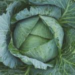 キャベツの栽培におすすめの品種!収穫について!