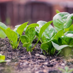 ほうれん草の栽培!肥料の種類と使用するタイミングについて!