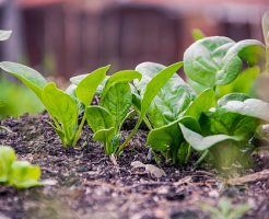 ほうれん草 肥料 種類